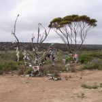 Strange Trees in the Nullarbor