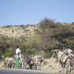 Salt Caravan from the Danakil