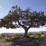 Zi'kallay - Stephanus' Tree