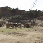 Adigrat - Herding Goats and Sheep in the City